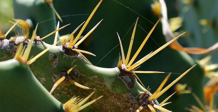 cacti-cactus
