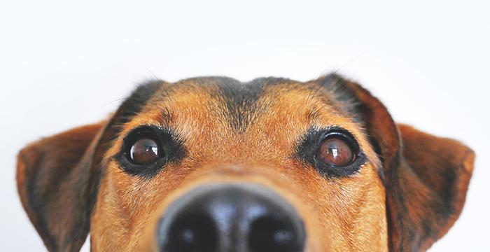 dog_head